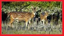 সুন্দরবনে ৪০ কেজি হরিণের মাংস উদ্ধার