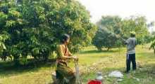 দিনাজপুরে লিচুর বাম্পার ফলনের সম্ভাবনা
