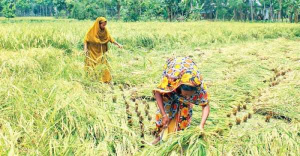 Boro Paddy harvesting continues in Jessore